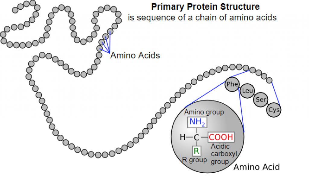 Stavba bielkoviny