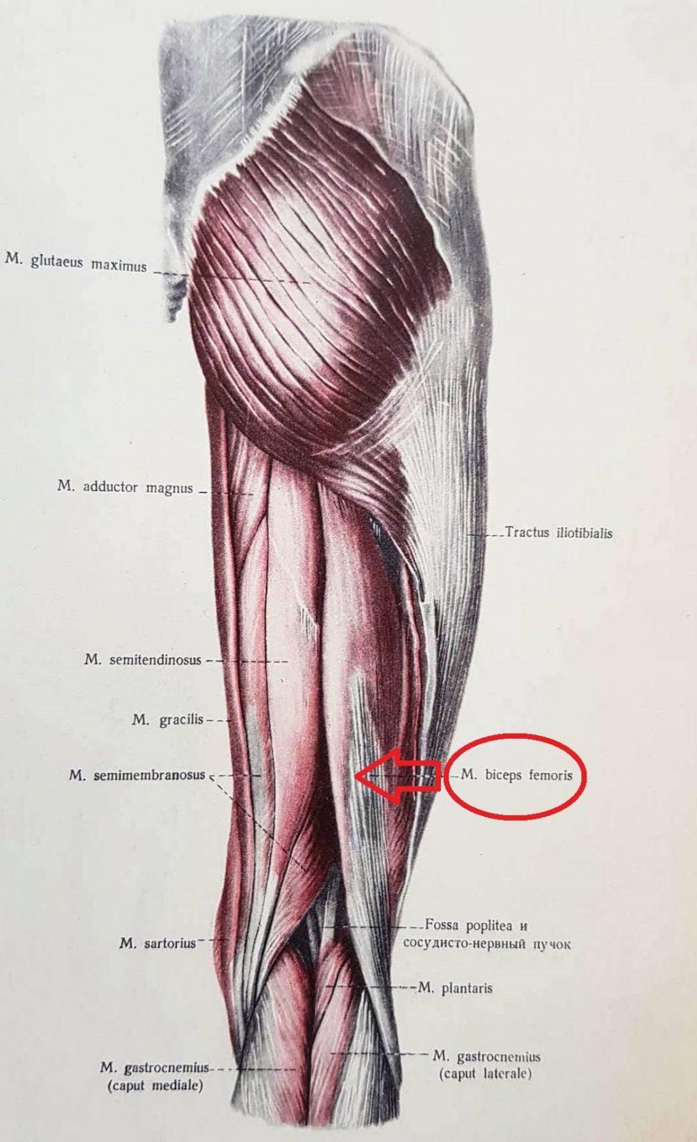 dvojhlavy sval stehna