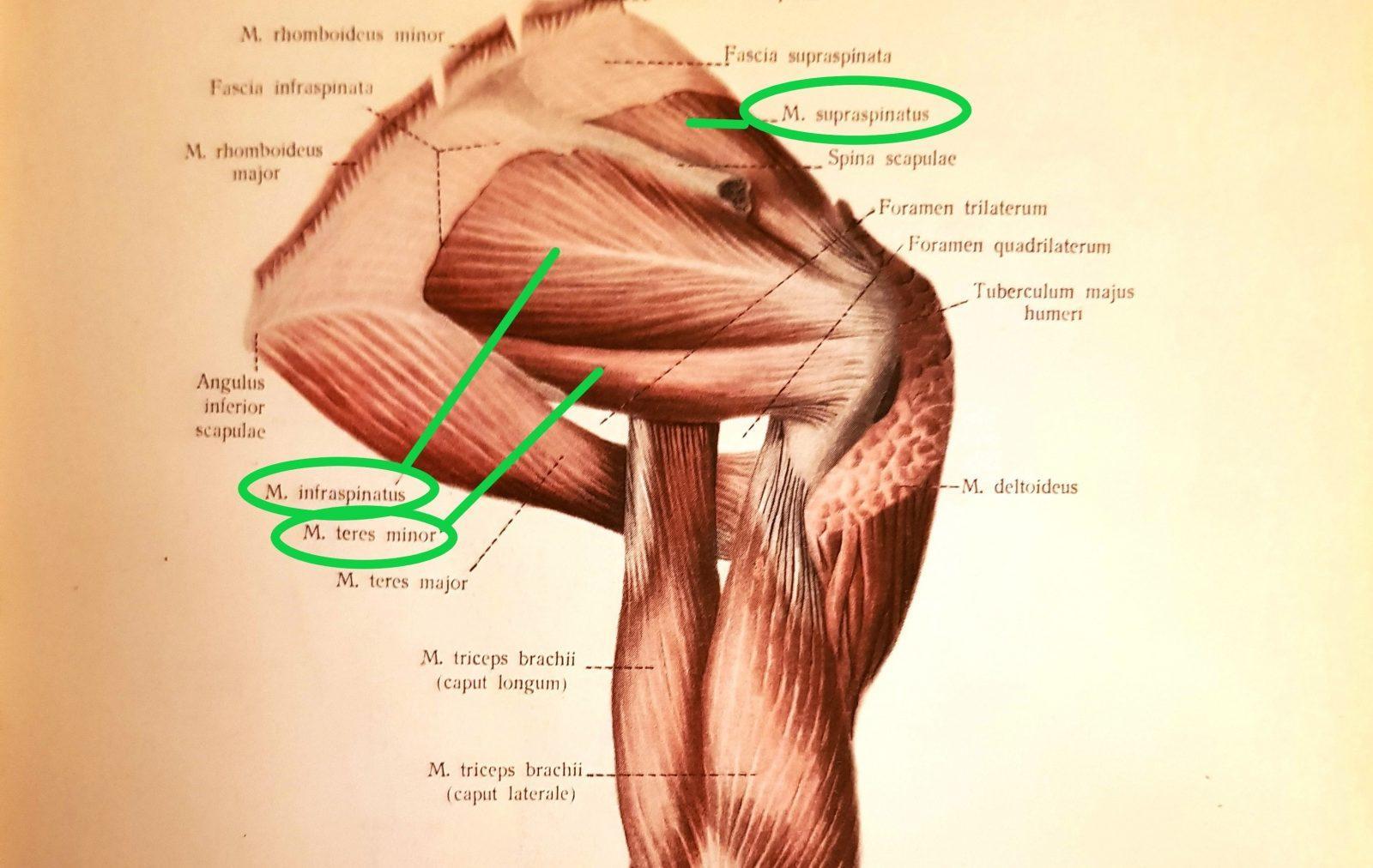 Svaly ramena