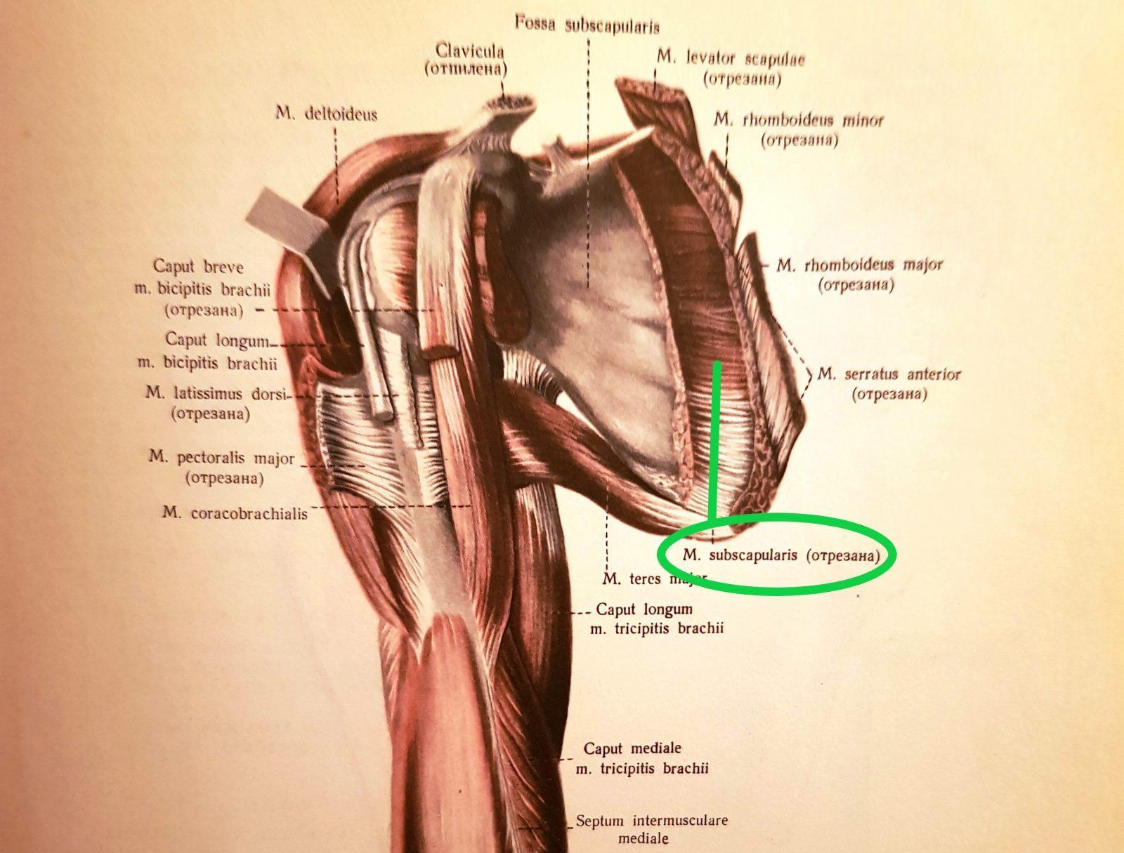 Podlopatkový sval