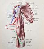 Zamerané na biceps! Ako ho precvičiť vo fitku a ako v domácich podmienkach?
